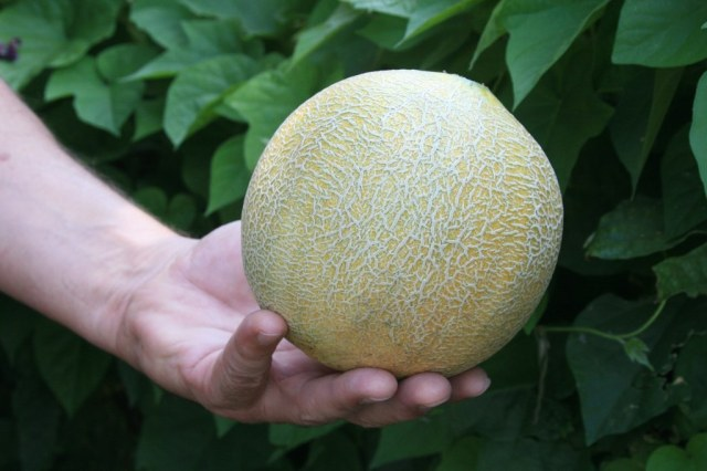 Whole muskmelon held in one hand